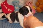 Picture of Josh - Adorable Tri Color Beaglier Boy