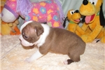 Picture of Whitley - Adorable Red/White Boston Terrier Boy