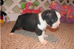 Picture of Stryker - Adorable Black Boston Terrier Boy