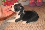 Picture of Stana - Adorable Black Boston Terrier Girl