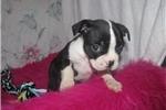 Picture of Garrett - Adorable Black Boston Terrier Boy