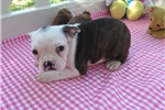 Picture of Peyton - Adorable Brindle Boston Terrier Girl