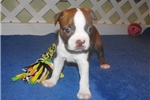 Picture of Mona - Adorable Red Boston Terrier Girl