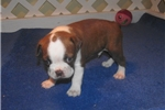 Picture of Milo - Adorable Red Boston Terrier Boy