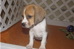 Picture of Madge - Adorable Red Boglen Terrier Girl