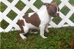 Picture of Kade - Adorable Red Splash Boston Terrier Boy