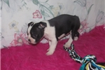 Picture of Gregory - Adorable Black Boston Terrier Boy