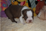 Picture of Wally - Adorable Red/White Boston Terrier Boy