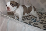 Picture of Radison - Adorable Red Splash Boston Terrier Boy