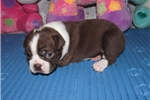 Picture of Melody - Adorable Red/ White Boston Terrier Girl