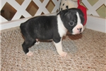 Picture of Stevie - Adorable Black Boston Terrier Boy