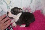 Picture of Grant - Adorable Black Boston Terrier Boy