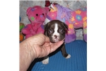 Picture of Theo - Adorable Red and White Boston Terrier Boy