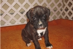Picture of Stoney - Adorable Black Brindle Boxer Boy