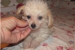 Picture of Leo - Adorable Cream ChiPoo Boy