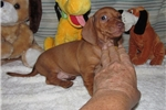 Picture of Nigel - Adorable Red Mini Dachshund Boy