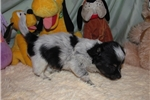 Picture of Popeye - Adorable White/Black LC Chiweenie Boy