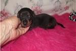 Picture of Smokey - Adorable Black & Tan Mini Dachshund Boy