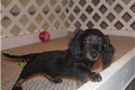 Picture of Benjie - Adorable Black/Tan LC Mini Dachshund Boy