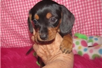 Picture of Gentry - Adorable Black and Tan Mini Dachshund Boy