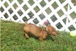 Picture of Amy - Adorable Red Mini Dachshund Girl