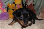 Picture of Paco - Adorable Black Chiweenie Boy