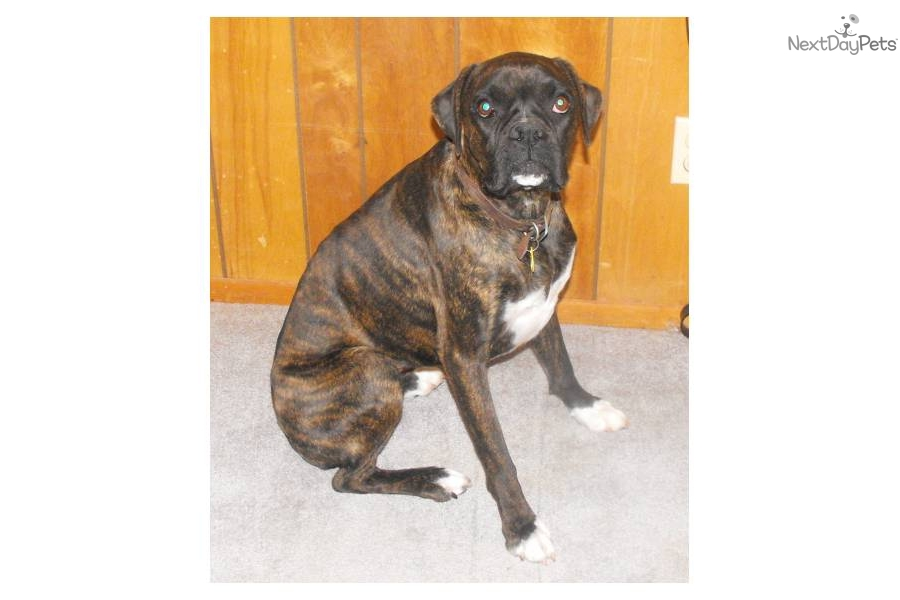 Adopt Pepper a Boxer Puppy for ???. Rescued AKC reverse brindle boxers