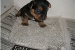 Picture of AKC Baby Doll