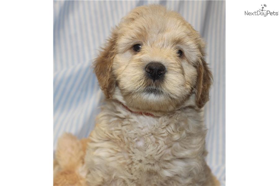 Goldendoodle puppy for sale near Little Rock, Arkansas | d3089d23-ddd1
