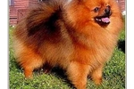 Featured Breeder of Pomeranians with Puppies For Sale