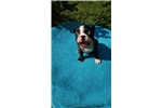 Picture of Kimberly female Boston terrier puppy