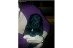 AKC Newfoundland puppy | Puppy at 4 weeks of age for sale