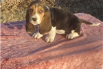 Picture of Sarge the AKC Basset Hound