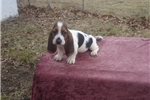 Picture of Wally the AKC Basset Hound