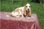 Picture of Mason the AKC Basset Hound