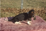 Picture of Bella the AKC Basset Hound