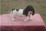 Picture of Chloe the AKC Basset Hound