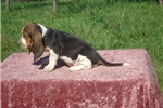Picture of Shasta the AKC Basset Hound