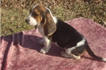 Picture of Susie the AKC Basset Hound