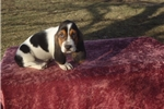 Picture of Bentley the AKC Basset Hound Puppy