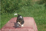 Picture of Taz the male Beagle