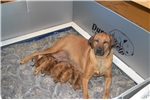 Rhodesian Ridgeback for sale