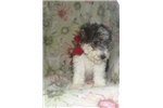 Picture of Fari- lovely wire fox terrier