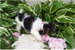 Picture of Olivia- wire fox terrier female