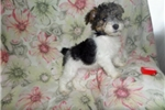 Picture of Fauna- lovely wire fox terrier