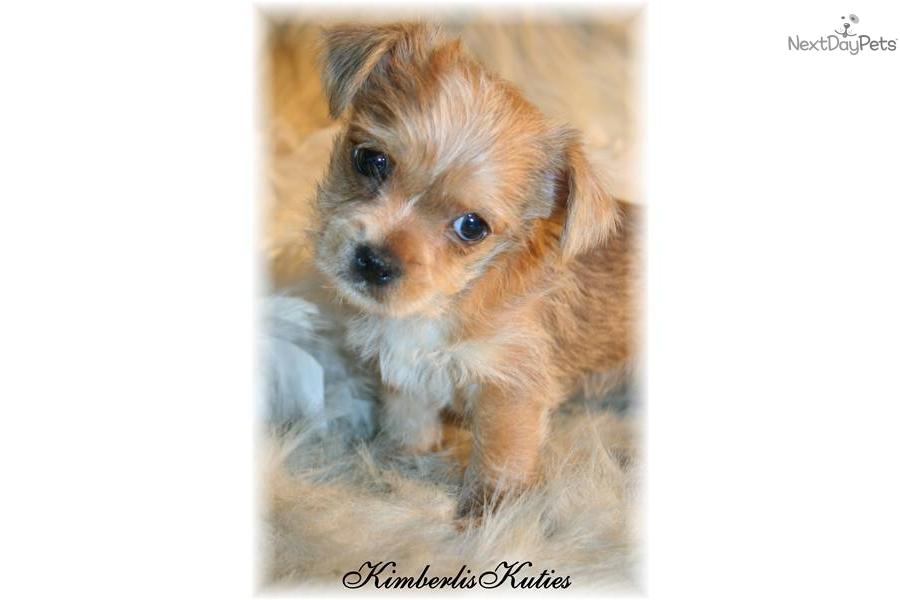 Maltese Yorkshire Terrier
