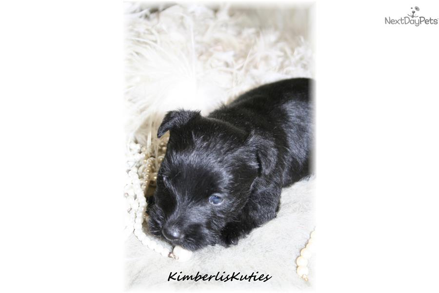 Magnum Insurance Near Me >> Magnum | Scottish Terrier puppy for sale near Dallas / Fort Worth, Texas | c1c83fe2-9b11
