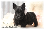Picture of Brylee ~ Black Female Scottish Terrier