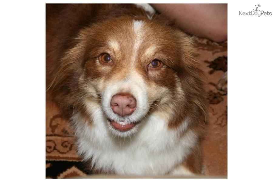 miniature australian shepherd puppy for adoption near