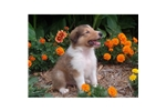 Picture of a Collie Puppy